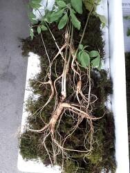 산삼감정 들어온삼 산원초