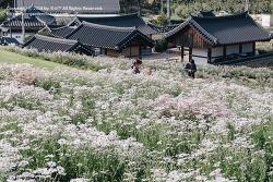 경주 여행 / 서악마을 도봉서당에 핀 새하얀 구절초