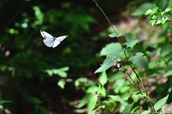 큰줄흰나비
