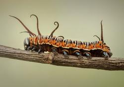 왕나비 유충