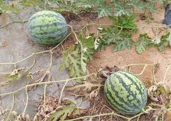 수박 수확,효능과 잘 익은 맛있는 수박 고르는 방법