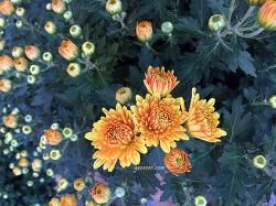자연을 담은 사진, 국화(Chrysanthemum)
