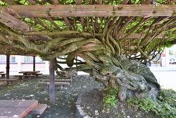 운산초교 등나무