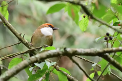Rufous-crowned Laughingthrush