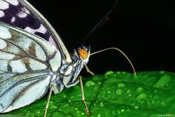 왕오색나비