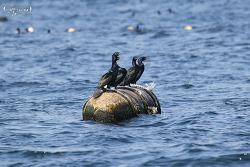 쇠가마우지 [Pelagic Cormorant]