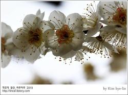 [적묘의 단상]삼일절,꽃은 피고, 빼앗긴 들에도 봄은 오는가,봄꽃,매화,산수유