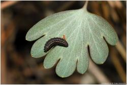 모시나비 애벌레