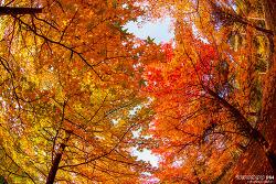 미국풍나무