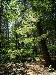 200704 - 대관령 소나무 숲 ①
