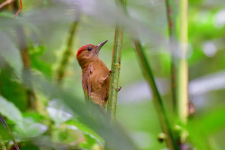 Smoky-brown Woodpecker, 15cm