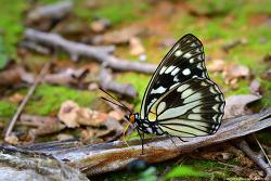 흑백알락나비
