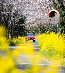 지금 이 순간 제주도에서 가장 예쁜 벚꽃도로