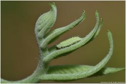 긴꼬리부전나비 애벌레