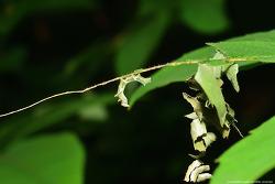 먹그림나비 애벌레