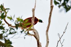 Red Bird Of Paradise, 33cm