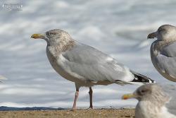 Hybrid Gulls - Glaucous Gull X Vega Gull (울진군 기성면 봉산리해변)