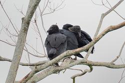 Black Vulture, 64cm