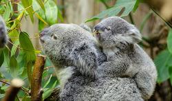 """봄철 미세먼지 해결사①-유칼립투스(Eucalyptus), """"콧물 뚝!"""""""