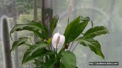 스파티필룸의 흰꽃