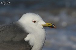 괭이갈매기 [Black-tailed Gull]