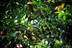 폭염 속 청띠제비나비
