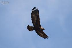 검독수리 [Golden Eagle]