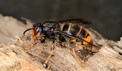 등검은말벌과 환삼덩굴 생태교란생물 지정