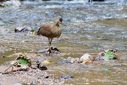 Herons & Egret of Tarcoles River