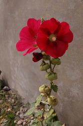 민화 자료 꽃사진 - 접시꽃, 채송화, 아주까리