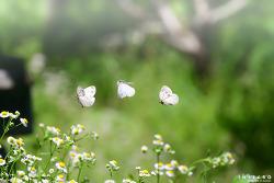 큰줄흰나비 플라잉