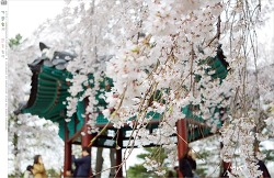 국립현충원의 눈부신 수양벚꽃