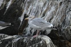 옅은재갈매기 [American Herring Gull]