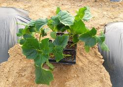 오이재배[파종,모종심기,정식,수확시기와 순지르기(적심),첫 수확]