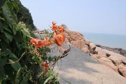 해변가에 핀 참나리꽃