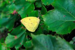 연노랑흰나비