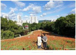 올림픽공원 들꽃마루 양귀비와 수레국화가 드뎌 활짝 피었습니다.