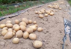 감자재배[수미감자 수확과 하지감자 수확시기,감자 보관방법]