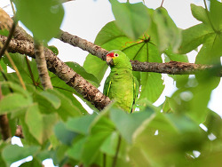 Red-lored Parrot, 33cm