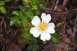돌가시나무. Rosa wichuraiana. 돌가시나무 꽃