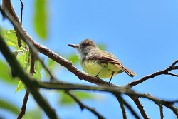 Brown-crested Flycatcher? 20cm