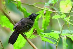 Black-hooded Antshrike, 15cm [ Endemic to CR and Western Panama]