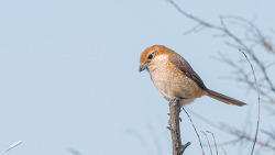 때까치( bull-headed shrike )와 물때까치( chinese grey shrike )