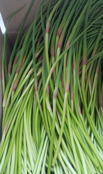 무농약 무비료 무제초제 유기농 마늘종 판매