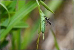 부전나비 종령 애벌레