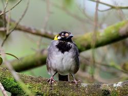 White-eared Ground Sparrow, 15cm