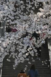 강릉 남산 벚꽃