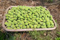 수확한 매실(청매,황매)로 매실청,매실주 담그기,만들기