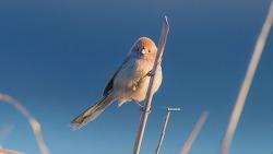 한강에서 짧은 순간 붉은머리 오목눈이 ( Parrotbill )와 아이컨텍을 한 순간^^