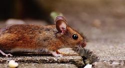 미국에서 쥐가 가장 살기 좋은 도시…시카고 6년째 불명예
